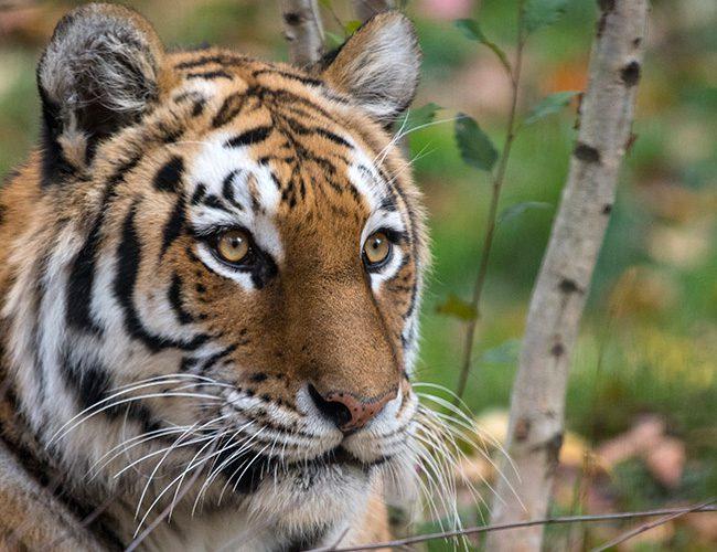 Тотем для Овна - тигр