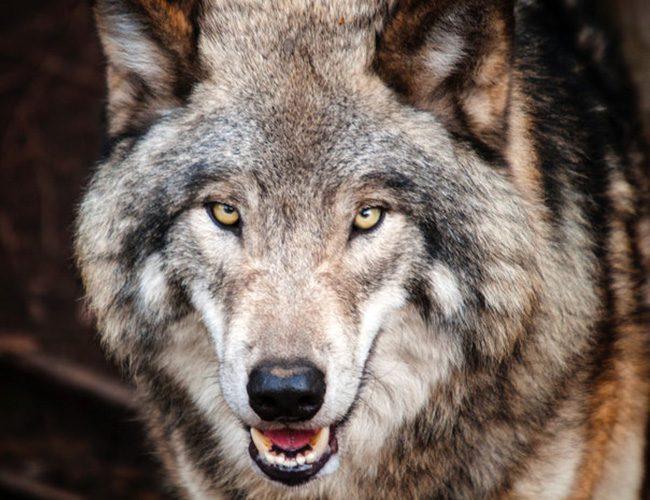Тотемна тварина по знаку Зодіаку для Тельця вовк
