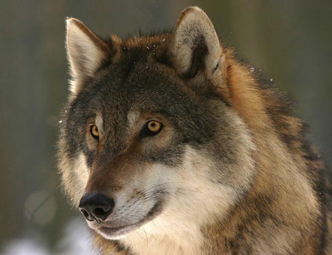 Тварина-покровитель для Риб - вовк