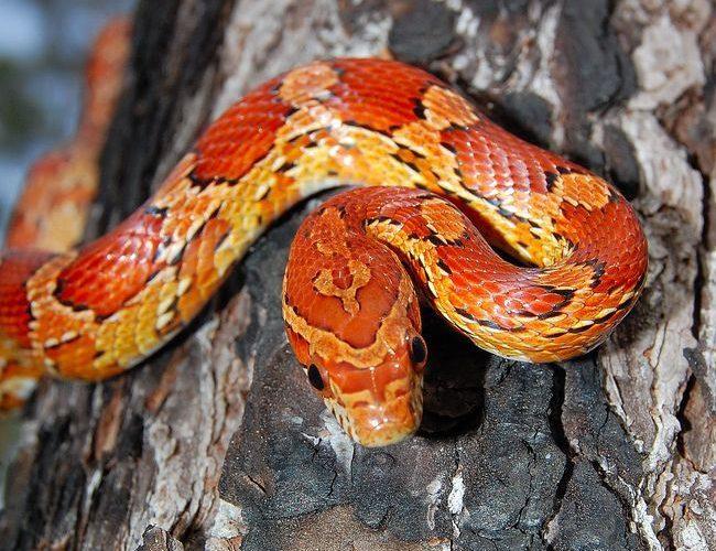 Тотемна тварина по знаку Зодіаку для Скорпіона - Змія